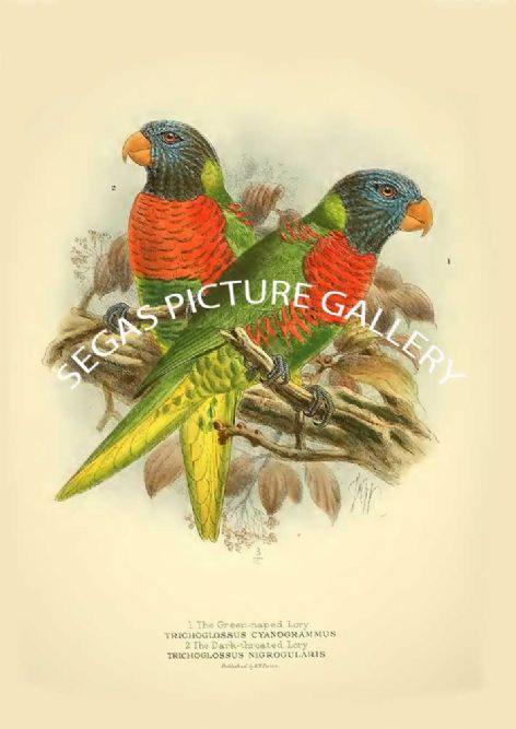 Fine art print of the Green-naped Lory - Trichoglossus cyanogrammus & Dark-throated Lory - Trichoglossus nigrogularis by St George Mivart (1896)